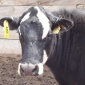 Cow_With_RFID_Tag